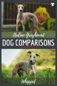 The Italian Greyhound and the Whippet are very similar pups, and this is entirely because they are both direct descendants of their larger cousin, the Greyhound. Find out more in our article! Dog Comparison, Italian Greyhound Dog, Whippet Dog, Grey Hound Dog, R Dogs, Whippets, Dog Accessories, Dog Training, Fur Babies