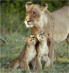 Imagenes Grandes Felinos: Imágenes de Felinos: imagen de leona con sus dos c...