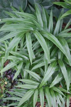 Coniogramme japonica (Japanese Bamboo Fern)  plantdelights.com  $13