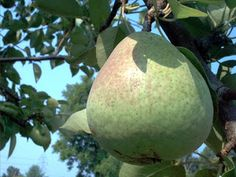 5 Things You Probably Didn't Know About Pears: http://www.eatgroovy.com/2012/12/5-things-you-probably-didnt-know-about_6.html