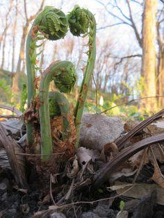 Wild Crafting Fiddlehead Ferns #wildcrafting #fiddleheadferns #imalittlegreen