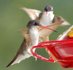 Backyard Hummingbirds Competing For Space by StevenMiller, via Flickr