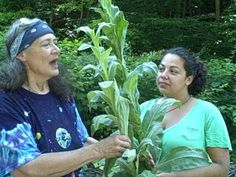 mullein harvest with herbalist Susun Weed- making a mullein infusion.