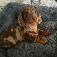 "Acquire fantastic suggestions on ""dachshund puppies"". They are actually offered for you on our web site. Dachshund Facts, Dapple Dachshund Puppy, Dachshund Breed, Dachshund Funny, Dachshund Puppies, Weenie Dogs, Dachshund Love, Daschund, Baby Weiner Dogs"
