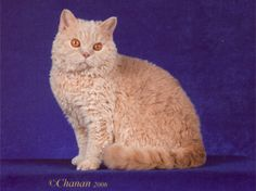 The Selkirk Rex. The cat's curly coat is plush and loosely curled, showing up more dramatically on the longhair.