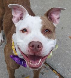 Manhattan center CHANEL aka ARABELLA – A1094939  FEMALE, BR BRINDLE / WHITE, PIT BULL MIX, 3 yrs STRAY – STRAY WAIT, NO HOLD Reason STRAY Intake condition EXAM REQ Intake Date 10/27/2016, From NY 10469, DueOut Date 10/30/2016, I came in with Group/Litter #K16-079524