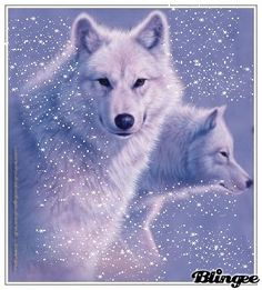 White wolves - beautiful