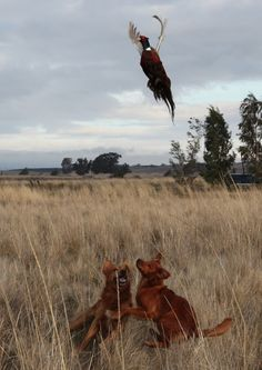 another-animal-blog: Pheasant Hunt by dglassme
