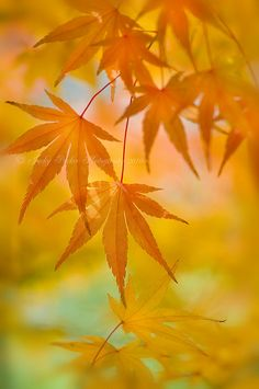 On Golden Acer by Jacky Parker