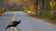Provincial officials say people in Kimberley, B.C. should stop feeding wild turkeys because the birds are becoming habituated to humans.