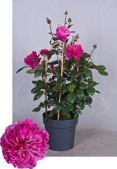 Renaissance® Collection Natalie™ Poulren014(N) Renaissance, Plants, Collection, Plant, Planets