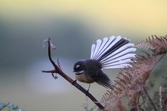 New Zealand fantail. North Island pied morph adult showing fanned tail . Image © Jenny Atkins by Jenny Atkins www. Colorful Animals, Colorful Birds, New Zealand Tattoo, Birds Online, Maori Art, Tattoo Maori, Nz Art, Kiwiana, Nature Tattoos