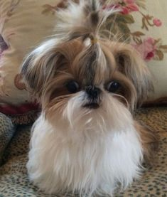 12 Reasons Why You Should Never Own Shih Tzus #ShihTzupuppy