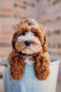 Tessa the Cockapoo Puppy by Happy Tails Pet Photography - You had me hello! Tessa the Cockapoo Puppy by Happy Tails Pet Photography I Love Dogs, Puppy Love, Cute Dogs, Cutest Puppy, Adorable Puppies, Funny Dogs, Cute Puppy Names, Very Cute Puppies, Puppy Mix