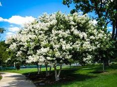 Image result for lagerstroemia white