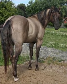 """Hengste - Blackburn Buck Poco QH - Hengste – Blackburn Buck Poco QH """" Hengste – Blackburn Buck Poco QH The Effective Pictures We - Horses And Dogs, Cute Horses, Horse Love, Wild Horses, Black Horses, Quarter Horses, American Quarter Horse, All The Pretty Horses, Beautiful Horses"""