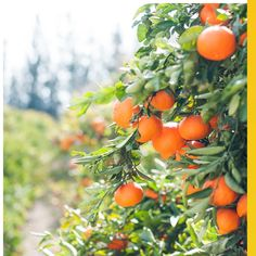 orange fruit tree In winter, many delicious fruits ripen in Cyprus. Orange Fruit, Orange Peel, Vitamins For Healthy Skin, Sky Brown, Flu Prevention, Farm Pictures, Farm Images, Citrus Juice, Salud Natural