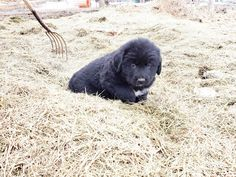 Prairie Willow Golden Mountain Dogs. Adopt this sweet Golden Mountain dog puppy. www.prairiewillowdogs.com Mini Bernedoodle, Mini Goldendoodle, Bernese Mountain, Mountain Dogs, Doge, Pup, Sweet, Dog Baby, Baby Dogs