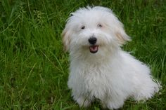Coton de Tulear Themed Gifts, Unique designs, Artwork, T Shirts, Posters, Mugs, Watches, Key Rings, Phone Cases, Cards & Invitations, Fabric, Calenders, etc. Brilliant designs and products by many different artists available on Zazzle. Just so you know, this is an affiliate link but there are some amazing products on here.
