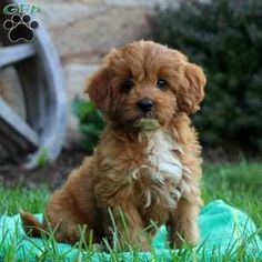 Cavapoo puppies for sale! These adorably fluffy Cavapoo puppies are a cross between a Cavalier King Charles Spaniel and a Miniature Poodle. Little Dogs For Sale, Little Puppies, Cavapoo Dogs, Cavapoo Puppies For Sale, Cute Dogs, Cute Babies, Dog Breed Info, Greenfield Puppies, King Charles Spaniel