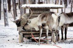 Reindeer Safari - From Rovaniemi.