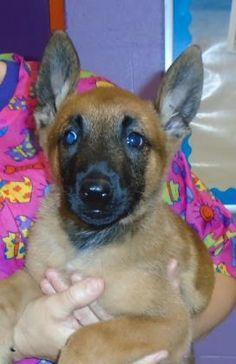 Animal ID 35589261 Species Dog Breed Belgian Malinois Age 3 months 1 day Gender Male Size Small Color Brown Site Department of Animal Services, City of El Paso Location Feline On Hold Intake Date Animal Adoption, Animal Rescue, Pet Adoption, Beautiful Dogs, Animals Beautiful, All Dogs, Dogs And Puppies, Belgian Malinois, Age 3