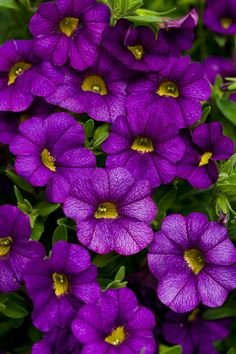 Proven Winners - Superbells® Blue - Calibrachoa hybrid blue purple blue-purple plant details, information and resources. Colorful Flowers, Purple Flowers, Beautiful Flowers, Flower Colors, Purple Plants, Purple Garden, Petunias, Outdoor Plants, Garden Plants