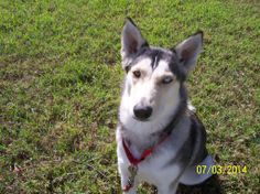 Meet BELLA III, our newest #rescued #Siberian #Husky! Bella is available for #adoption in #Florida from our #dogrescue: http://www.siberrescue.com/  Bella is a very sweet female #dog. She gets along well with other #dogs and has been confirmed to be #cat friendly. Bella is healthy, heartworm negative, spayed, up-to-date on shots, and microchipped.