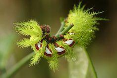 """Saturniid moth caterpillar """"Automeris melanops"""""""
