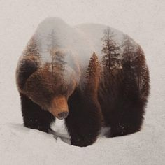 Bear Pictures, Animal Pictures, Bruder Tattoo, Grizzly Bear Tattoos, Art Aquarelle, Tier Fotos, Bear Art, Wildlife Art, Spirit Animal