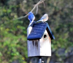 Get those nesting boxes up the bluebirds will be nesting soon in NE Georgia Johns Creek, Bluebirds, Nesting Boxes, Wild Birds, Love Birds, Georgia, Store, Outdoor Decor, Larger