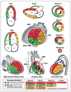 """Sam Ghali on Twitter: """"Know your coronary artery territories on #Echo so you can correlate wall motion with #ECG! HT @Ed_Alania #FOAMed https://t.co/0Doe8E8omG"""""""