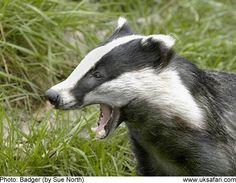 http://www.uksafari.com/badgers.htm