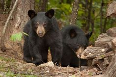 Cute black bears in the Smokies! One of the most exciting things to see!