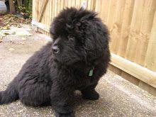 Oscar the Newfoundland puppy: Introducing Oscar the Newfoundland puppy