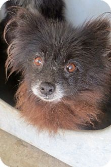 Pompton lakes, NJ - Pomeranian. Meet 8 poms, a dog for adoption. http://www.adoptapet.com/pet/13335927-pompton-lakes-new-jersey-pomeranian