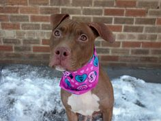 SAFE!!!- 3/10/14 Brooklyn Center -P  My name is POPPY. My Animal ID # is A0992516. I am a female brown and white pit bull mix. The shelter thinks I am about 2 YEARS old.  I came in the shelter as a OWNER SUR on 02/25/2014 from NY 11238, owner surrender reason stated was PERS PROB.  https://www.facebook.com/photo.php?fbid=764335213579360&set=a.611290788883804.1073741851.152876678058553&type=3&theater