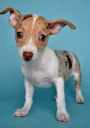 The Ratatouille--rat terrier chihuahua mix. Dog breeders, just stop! This is not good.