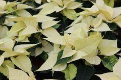 Poinsettia in creme/weiß