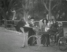 vintage everyday: Cawston Ostrich Farm, 1910