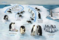 Tons of penguin resources. Cute photo of the life cycle too.