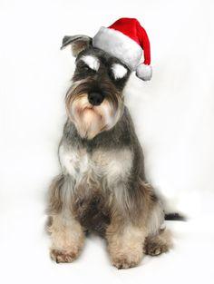 Finzi the Miniature Schnauzer at Christmas