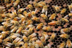 Koloni Lebah Madu