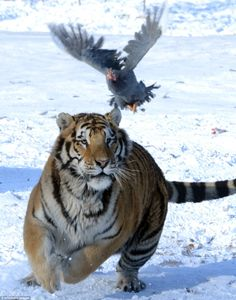 He's behind you! A particularly unlucky chicken tries desperately to escape after being thrown into the Tiger enclosure at a Chinese wildlif...