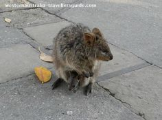 Quokka with baby in pouch.