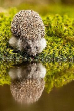 """They are beneficial; they eat slugs.   """"Hedgehog, a sadly declining British resident species."""" (url removed because of spam)"""