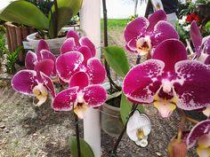 Orquídeas na exposição Terra Viva.