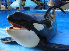 YOU WOULD SERIOUSLY SUPPORT SEA WORLD AFTER BLACKFISH?? THOSE POOR ANIMALS HAVE NO FREE SPACE. SEPERATED FROM THEIR FAMILIES AT A YOUNG AGE. THEIR FAIMILIES SLAUGHTERED WHILE THE BABIES ARE SENT TO SEA WORLD TO PERFORM??? LET THEM FREE!!! THE WILD IS WHERE THEY WERE BORN, ITS WHERE THEY BELONG. NOT PERFORMING AS A SHOW. DEFINITELY NOT ISOLATED!!!!!