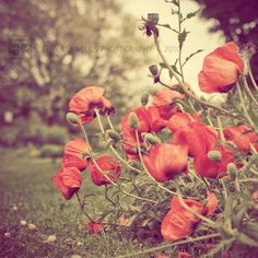 poppies. they remind me of my mom. :)