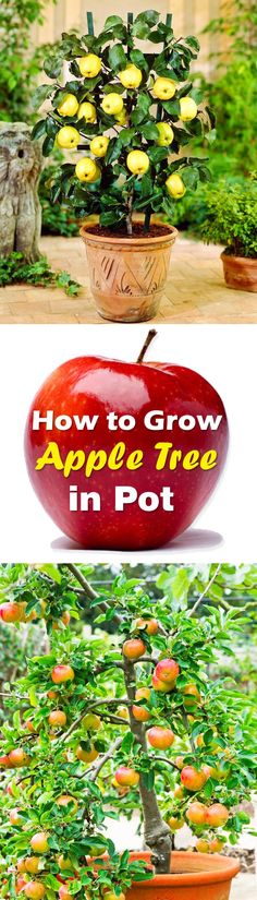 Indoor Container Gardening Learn how to grow an apple tree in container in this article. - Learn how to grow an apple tree in container in this article. Growing apple trees in pots require some care and maintenance that is given below. Growing Apple Trees, Growing Plants, Growing Vegetables, Growing Seeds, Growing Tree, Growing Flowers, Hydroponic Gardening, Organic Gardening, Gardening Tips